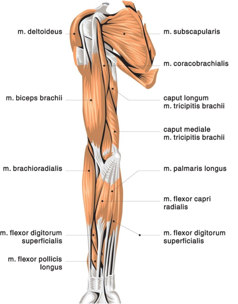Hand, Wrist, Forearm, and Elbow muscle imbalances - Strong